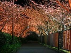 河津桜夜桜